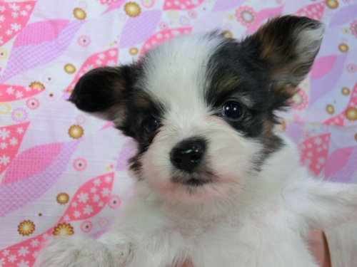 パピヨンの子犬(ID:1244711413)の1枚目の写真/更新日:2017-03-27
