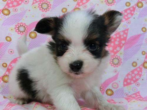 パピヨンの子犬(ID:1244711413)の2枚目の写真/更新日:2017-04-04