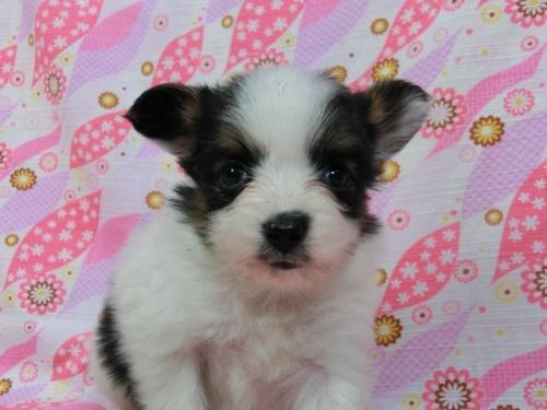 パピヨンの子犬(ID:1244711413)の3枚目の写真/更新日:2017-04-04