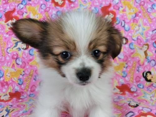 パピヨンの子犬(ID:1244711414)の1枚目の写真/更新日:2017-04-19