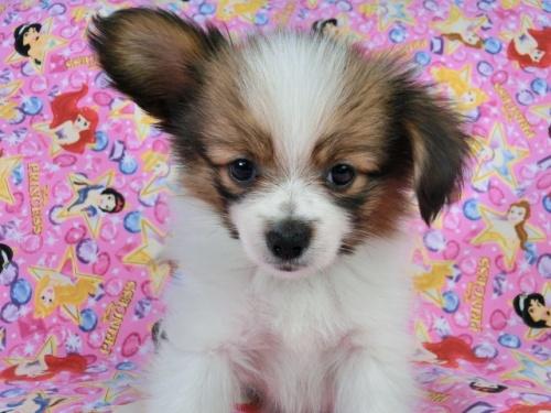 パピヨンの子犬(ID:1244711414)の2枚目の写真/更新日:2017-04-19