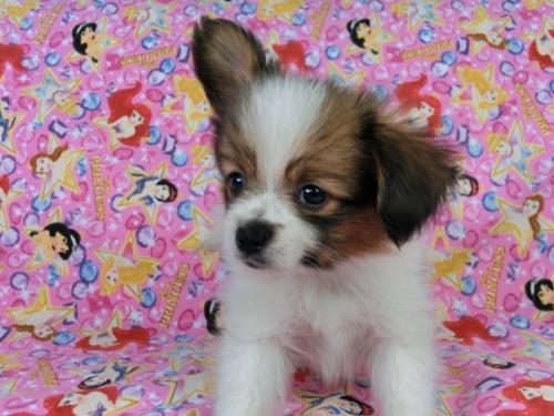 パピヨンの子犬(ID:1244711414)の3枚目の写真/更新日:2017-04-19