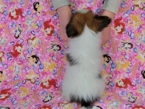 パピヨンの子犬(ID:1244711414)の4枚目の写真/更新日:2017-04-19