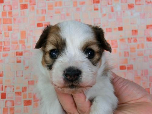 パピヨンの子犬(ID:1244711415)の1枚目の写真/更新日:2017-03-27