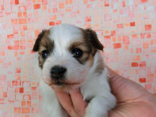 パピヨンの子犬(ID:1244711415)の2枚目の写真/更新日:2017-03-27
