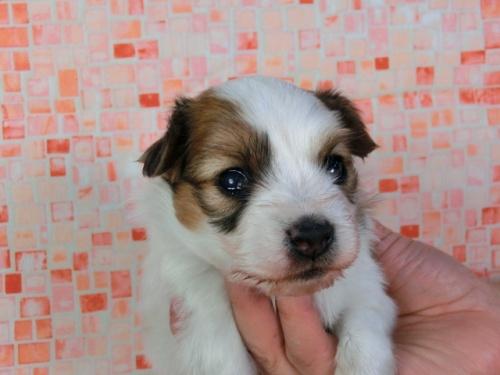 パピヨンの子犬(ID:1244711415)の3枚目の写真/更新日:2017-03-27