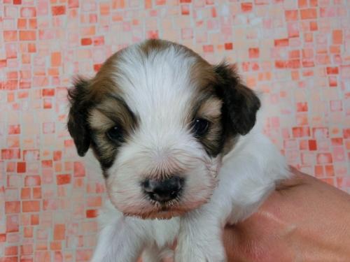 パピヨンの子犬(ID:1244711416)の1枚目の写真/更新日:2017-03-27
