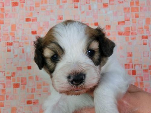 パピヨンの子犬(ID:1244711416)の2枚目の写真/更新日:2017-03-27