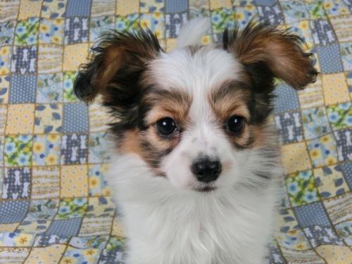 パピヨンの子犬(ID:1244711417)の1枚目の写真/更新日:2017-05-02