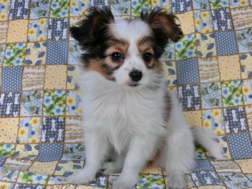 パピヨンの子犬(ID:1244711417)の2枚目の写真/更新日:2017-03-27