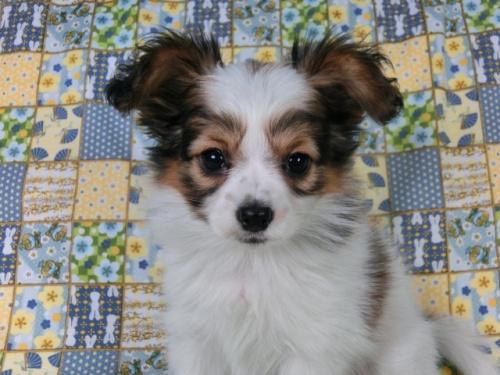 パピヨンの子犬(ID:1244711417)の3枚目の写真/更新日:2017-03-27
