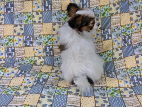 パピヨンの子犬(ID:1244711417)の4枚目の写真/更新日:2017-03-27