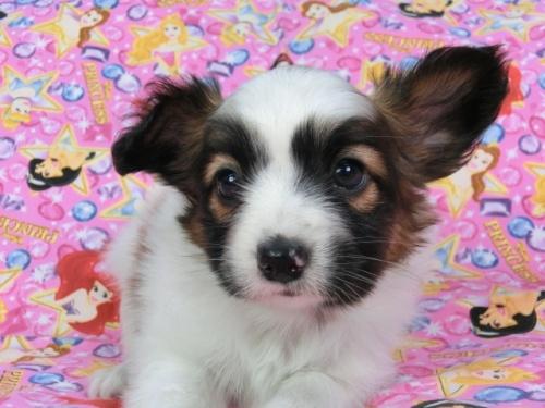パピヨンの子犬(ID:1244711418)の1枚目の写真/更新日:2017-04-14