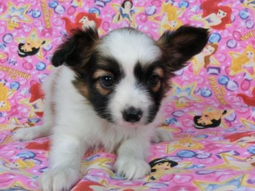 パピヨンの子犬(ID:1244711418)の2枚目の写真/更新日:2017-04-14