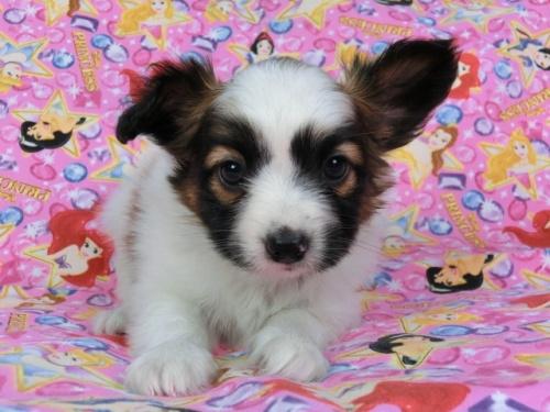 パピヨンの子犬(ID:1244711418)の3枚目の写真/更新日:2017-04-14
