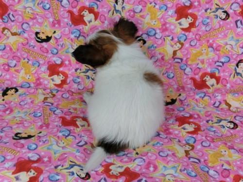 パピヨンの子犬(ID:1244711418)の4枚目の写真/更新日:2017-04-14