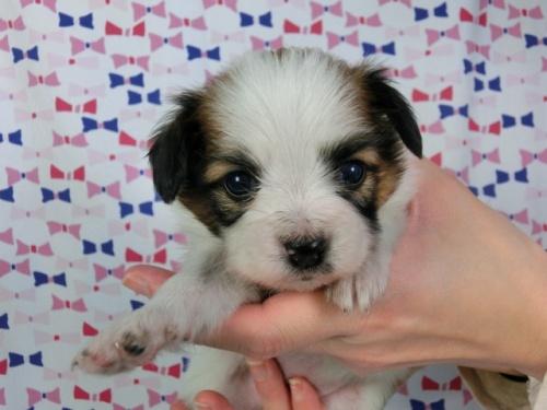 パピヨンの子犬(ID:1244711419)の1枚目の写真/更新日:2017-03-27