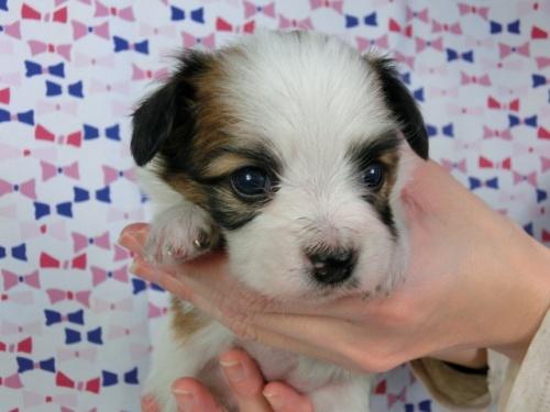 パピヨンの子犬(ID:1244711419)の2枚目の写真/更新日:2017-03-27