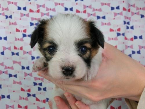 パピヨンの子犬(ID:1244711419)の3枚目の写真/更新日:2017-03-27