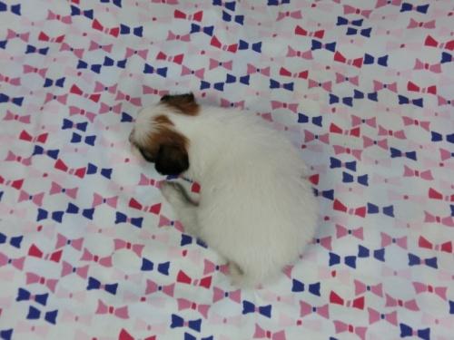 パピヨンの子犬(ID:1244711419)の4枚目の写真/更新日:2017-03-27