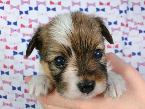 パピヨンの子犬(ID:1244711420)の1枚目の写真/更新日:2017-03-27