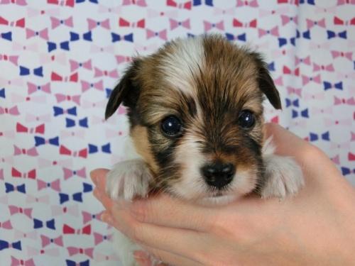 パピヨンの子犬(ID:1244711420)の3枚目の写真/更新日:2017-03-27