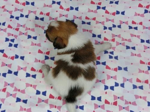 パピヨンの子犬(ID:1244711420)の4枚目の写真/更新日:2017-03-27