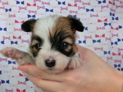 パピヨンの子犬(ID:1244711421)の1枚目の写真/更新日:2017-03-27