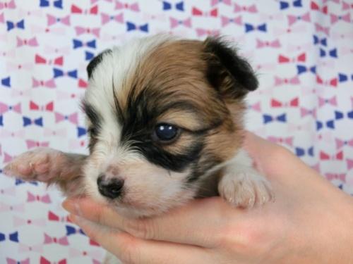パピヨンの子犬(ID:1244711421)の2枚目の写真/更新日:2017-03-27
