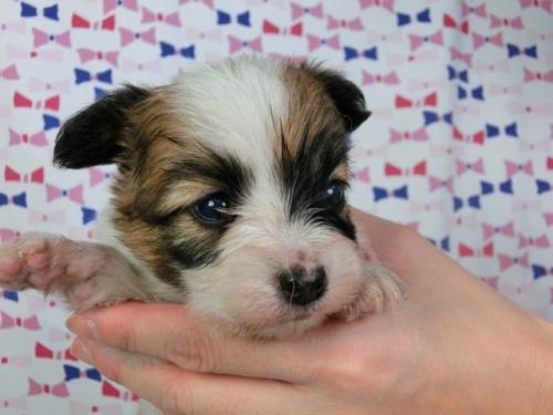 パピヨンの子犬(ID:1244711421)の3枚目の写真/更新日:2017-03-27
