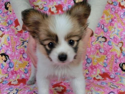 パピヨンの子犬(ID:1244711422)の1枚目の写真/更新日:2017-03-27