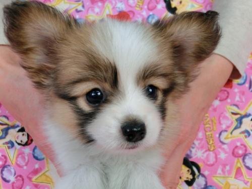 パピヨンの子犬(ID:1244711422)の2枚目の写真/更新日:2017-03-27