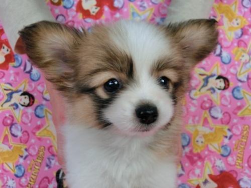 パピヨンの子犬(ID:1244711422)の3枚目の写真/更新日:2017-03-27