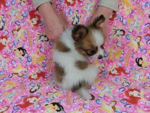パピヨンの子犬(ID:1244711422)の4枚目の写真/更新日:2017-04-19