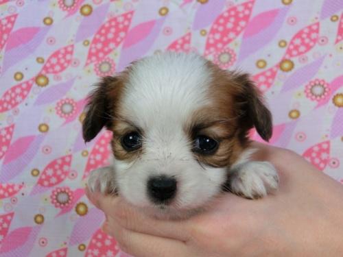 パピヨンの子犬(ID:1244711423)の2枚目の写真/更新日:2017-04-04
