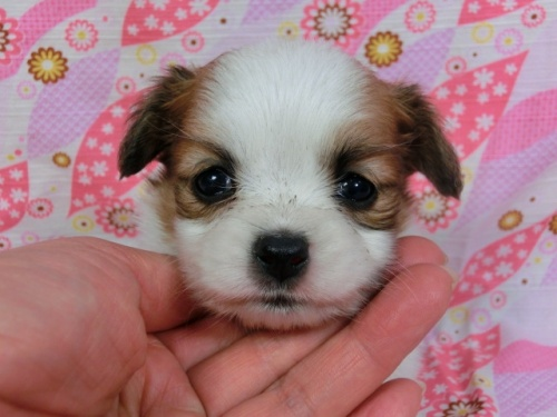 パピヨンの子犬(ID:1244711423)の3枚目の写真/更新日:2017-04-04