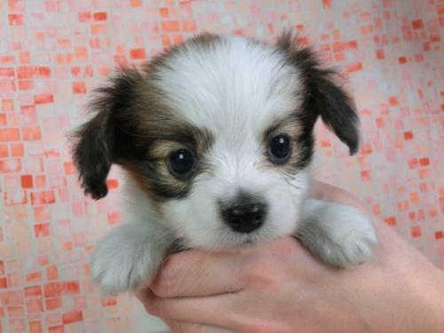 パピヨンの子犬(ID:1244711424)の1枚目の写真/更新日:2017-04-14