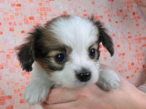 パピヨンの子犬(ID:1244711424)の2枚目の写真/更新日:2017-04-14