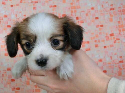 パピヨンの子犬(ID:1244711425)の2枚目の写真/更新日:2017-04-14