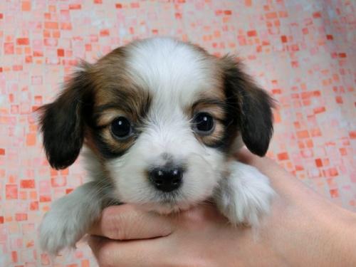 パピヨンの子犬(ID:1244711425)の3枚目の写真/更新日:2017-04-14