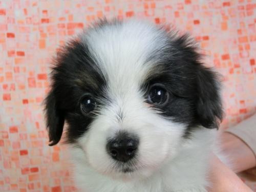 パピヨンの子犬(ID:1244711426)の2枚目の写真/更新日:2017-04-14