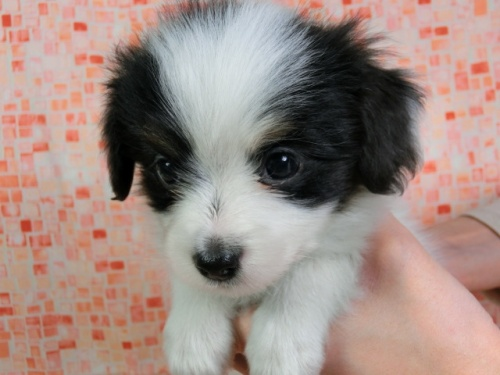 パピヨンの子犬(ID:1244711426)の3枚目の写真/更新日:2017-04-14
