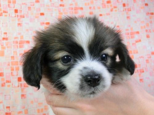 パピヨンの子犬(ID:1244711427)の1枚目の写真/更新日:2017-04-14