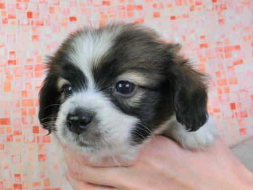 パピヨンの子犬(ID:1244711427)の2枚目の写真/更新日:2017-04-14