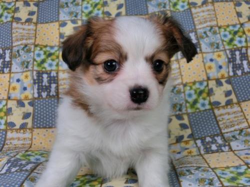パピヨンの子犬(ID:1244711428)の1枚目の写真/更新日:2017-05-02