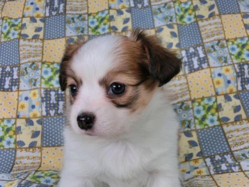 パピヨンの子犬(ID:1244711428)の2枚目の写真/更新日:2017-05-02