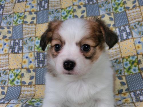 パピヨンの子犬(ID:1244711428)の3枚目の写真/更新日:2017-05-02