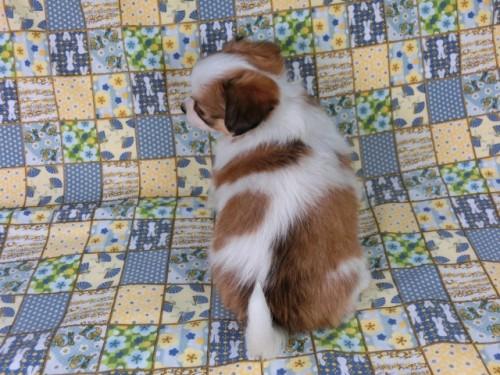 パピヨンの子犬(ID:1244711428)の4枚目の写真/更新日:2017-05-02