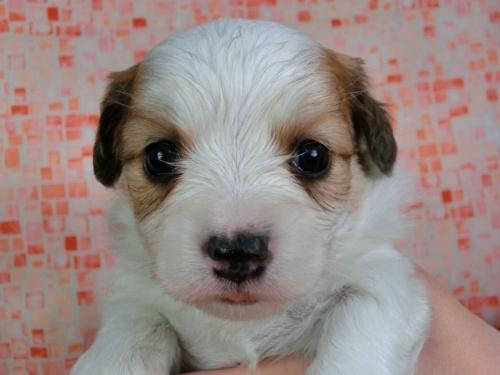 パピヨンの子犬(ID:1244711429)の1枚目の写真/更新日:2017-04-17
