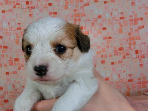 パピヨンの子犬(ID:1244711429)の2枚目の写真/更新日:2017-04-17